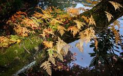 Pond and ferns (Tigra K) Tags: travel lake plant fern color tree nature japan garden moss jp shape 2012 tochigiken nikkshi fallclr