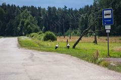 Les cigognes dans le nord de l'europe : on étudie leurs habitudes de vie, leur flux migratoire etc.