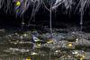Bergeronnette des ruisseaux (Motacilla cinerea) (yann.dimauro) Tags: france animal fr extérieur oiseau rhone rhônealpes givors ornithologie