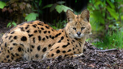 mir entgeht nichts! (karinrogmann) Tags: afrika serval wildkatze zookrefeld africanwildcat servalogattopardoafricano