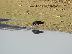 Corvus corone (Merintia) Tags: pez comiendo carpa carrioncrow corvuscorone cornejanegra pantanodesanbartolom