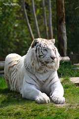 The Tiger King (Setsukoh) Tags: park wild white france animal proud garden zoo frankreich king tiger rest animaux lorraine parc blanc bengal tigre metz mosel repos roi flin moselle zoologique zoopark fauve fier zoological bengale amnville filis lothringen zooparc lotharingie