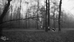 no title (judithrouge) Tags: winter blackandwhite detail nature drops natur gray flektogon schwarzweiss tropfen