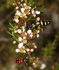 Jewels in the crowns (ron_n_beths pics) Tags: westernaustralia buprestidae jewelbeetles