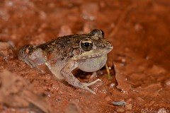 Bumpy Rocket Frog (Litoria inermis) (shaneblackfnq) Tags: bumpy rocket frog litoria inermis shaneblack amphibian mt mount surprise fnq far north queensland australia tropics tropical breeding calling