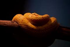 Watching me watching you .... (radio4) Tags: eyelashviper bothriechisschlegelii pitviper snake tarongazoo sydney nsw australia
