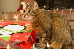 Pretty girl (tehchix0r) Tags: cat cats kitty kitties cute cutecat cutekitty christmas holiday tabby christmascat holidaycat