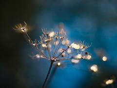 Graceful (Vintage lens lover) Tags: natur outdoor bokeh schärfentiefe pflanzen bokelicious olympus zuiko75mm blau januar vintagelenslover
