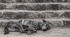 Impressions of India – 14 (Chizuka2010) Tags: india inde dog chien feraldog monochrome hmbt monochromebokehthursday delhi lodigardens camouflage resting peaceful sleeping blendingin rabies chizuka2010 luciegagnon naturephotographer photographenaturaliste travel travelphotography