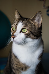 Is it a portrait? (baris.lorenzo) Tags: canon 28 28mm cat cats focus sharp morning sunday cold winter colorful colors 760d home bokeh animali animals blur bianco contrast depthoffield eyes green gatto hungry white italy