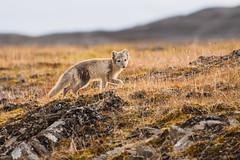Arctic Fox (Andreas.Huppert) Tags: spitzbergen svalbard polarfox arcticfox svalbardandjanmayen sj pictureperfect