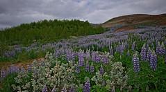 Цветущие люпины в долине Хёйкадалюр. Исландия