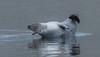 Harbour seal - Phoca vitulina - Landselur (*Jonina*) Tags: iceland ísland faskrudsfjordur fáskrúðsfjörður wildanimals villtdýr mammals spendýr harbourseal phocavitulina landselur jónínaguðrúnóskarsdóttir