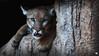 DPP_0008 (ELAINE'S PHOTOGRAPHS) Tags: cougars panther floridapanther catamount pumas puma mountainlion cats felines nature wildlife animals