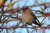 Waxwing (hanley27) Tags: waxwing bird canon400mm l f56