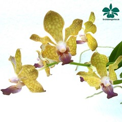 Vanda deninsoniana x Johanna Ljunggren #orchids #Orchidee #Orchideen #OrchIDEENgarten #orquídea #orquídeas #nature #naturelovers #iloveorchids #love #happy #flower #flowers #flowersofinstagram #flowerstagram #flor #flores #orchidstagram #orchidsofinstagra (orchideengartenkarge) Tags: orchid orchids orchideengarten flowers flower blume blumen orchideen flores orquideas orkideer