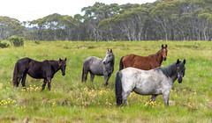 _DSC5863.jpg (David Hamments) Tags: horses wildbrumbies kosciuszkonationalpark roadie nsw flickrunitedaward
