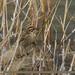 Reed Bunting (Emberiza schoeniclus)