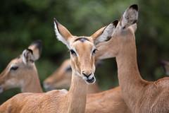 null dvkhac20170115 (20) (kangkang300402) Tags: africa afrika animals natur reise riftvalley safari tiere travel uganda nature nyabushozi westernregion ug