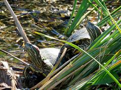 Red-eared Sliders (South Padre Island BNC) (stinkenroboter) Tags: southpadreislandbirdingandnaturecenter texas redearedslider trachemysscriptaelegans turtle