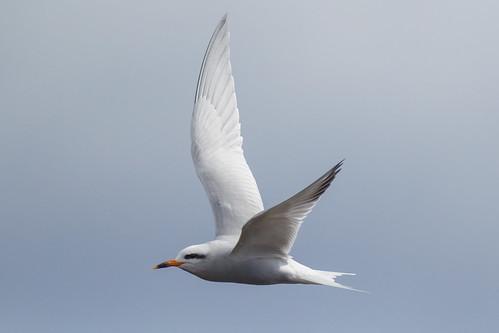 Snowy-crowned Tern - Sterna trudeaui - Gaviotín piquerito