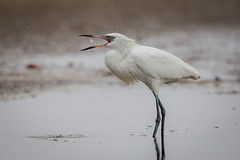 Toss-up (gseloff) Tags: whitemorphreddishegret bird feeding baitfish tidalpool bolivarflatsshorebirdsanctuary galvestoncounty houstonaudubonsociety texas gseloff