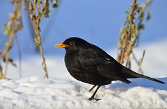 DSC_0719 (sylvettet) Tags: bird black snow 2017 merle blackbird