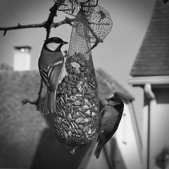 dinner in lover (Jacques Borruel) Tags: nature animal paysage oiseau mésange noiretblanc couleurs colors blackwhite