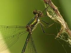 Lestes viridis (fturmog) Tags: fauna odonats odonátos odonata libélulas libèl·lules dragonflies alòsdebalaguer