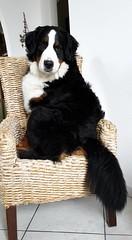 Cleo in posa (Bianchi Francesca Photographer) Tags: bovaro del bernese svizzero quartina cleo dog seduta poltrona simpatia cane