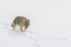 On the Hunt (Amy Hudechek (Happy Photographer)) Tags: coyote nature wildlife snow winter hunting grand teton national park gtnp