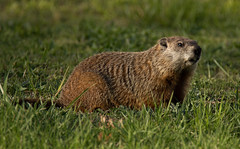 On the grass (v4vodka) Tags: animal mammal wildlife groundhog rodent chuck woodshock groundpig whistler thickwoodbadger canadamarmot monax moonack weenusk andredmonk newyork longisland woodchuck whistlepig swistakamerykanski swistak marmotamonax
