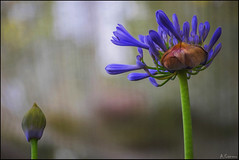 Agapanthus Africanus (antoniocamero21) Tags: planta color foto sony agapanto azul