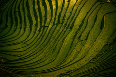 Veins Of The Dragon (Anna Kwa) Tags: longjiriceterraces 龙脊梯田 organicpatterns abstract art nature guilin 桂林 guangxi china annakwa nikon d750 afsnikkor70200mmf28gedvrii my love veins always heart colors seeing soul dragonsbackbonericeterraces throughmylens water steps ripples travel world wmh thepianoguys arwensvigil