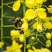 Carpenter Bee on yellow flowers