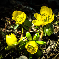 Today, a touch of early spring in my garden (++sepp++) Tags: blumen garten natur winterling flowers garden makro macro macroshot closeup nahaufnahme nature eranthishyemalis winteraconite ruby3