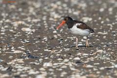 American Oystercatcher (sbuckinghamnj) Tags: shorebird americanoystercatcher oystercatcher sandyhook gatewaynationalrecreationarea newjersey