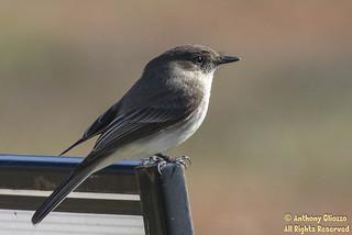 Eastern Phoebe (2201) (Rare Orange County, CA)