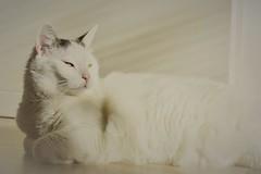 lazy Sunday.... (martinap.1) Tags: katze cat white weis nature haustier pet sigma 105mm macro makro nikon d3300 moritz chat gato mačka kat 貓 kissa 猫 kedi köttur pisică 7dwf