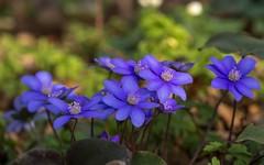 šumarice (01) (Vlado Ferenčić) Tags: šumarice anemone flowers closeup closeupmacro macro nikond600 sigma15028macro vladoferencic croatia hrvatska zagorje