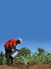 A farmer manually irrigates a cornfield in Barbados. Credit: Desmond Brown/IPS (IPS Inter Press Service) Tags: bridgetown brb barbados agriculture climatechange