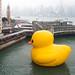 """""""Florentijn Hofman: Rubber Duck: Hong Kong 2013"""" / Crazyisgood Art Installation / SML.20130508.6"""