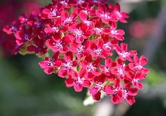 Yarrow Flowers (achillea millefolium) (rustyruth1959) Tags: flowers red petals nikon yorkshire shrub yarrow redflowers ripponden achilleamillefolium nikond3200 masterphotos
