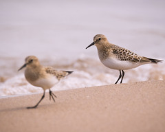 Baird's Sandpipers (Gadwall85) Tags: bird beach illinois sand birding lakemichigan sandpiper lakecounty shorebird bairdssandpiper winthropharbor northpointmarina canon7dmarkii tamron150600mm tamronsp150600mmf563divcusd
