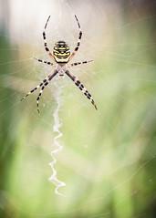 Argiope frelon (breizh'ilien) Tags: france spider europe wasp bretagne toile araignes argiope frelon bruennichi araneidae peire arthropode fascie invertbr