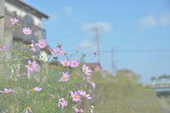 Kasukabe001 (Kosei.S) Tags: flower japan landscape japanese nikon asia saitama cosmos d800 kasukabe