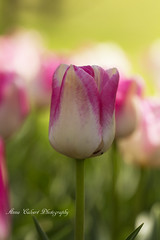 Pink and white Tulip (Anna Calvert Photography) Tags: park flowers trees plants nature garden landscape outdoors spring tulips blossoms australia environment canberra tuliptopgardens