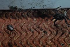 Brave Zygiella - that's Wanda on the right. (Procrustes2007) Tags: uk england spider suffolk britain wildlife arachnid flash nikond50 sudbury closeuplens wildlifephotography nucteneaumbratica zygiellaxnotata walnutorbweaver d50nocturnalarachnids afsnikkor1855eddx gridreftl883407 missindsectororbweaver