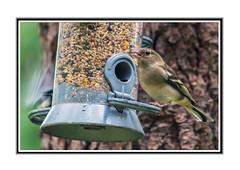 Feeding Time. (Echo Charlie Three Zero) Tags: bird birdfeeder queenelizabethforestpark nikond600