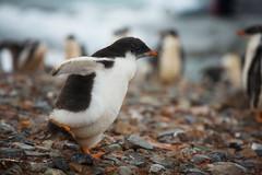 Gentoo Penguin chick, Peterman Island, Antarctica 2006
